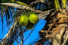 绿色未成熟的椰子 免版税库存图片