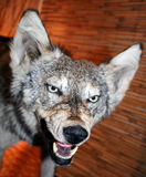 狼 库存照片