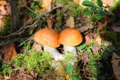 橙色盖帽牛肝菌蕈类采蘑菇生长在森林里 免版税库存照片