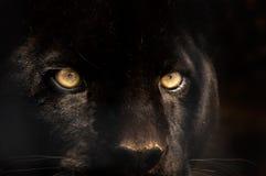 μαύρος πάνθηρας Στοκ φωτογραφίες με δικαίωμα ελεύθερης χρήσης