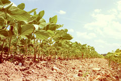 年轻大豆的领域 库存图片