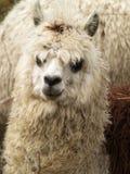骆马之类 库存照片
