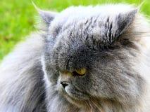 Славный персидский кот Стоковое Изображение