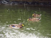 在落的水下的鸭子 免版税库存照片