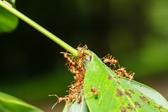 红色蚂蚁配合 库存照片