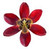 打开在白色背景隔绝的红色百合花 免版税图库摄影