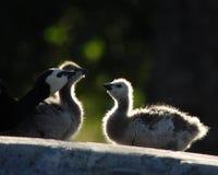 鹅 免版税库存照片