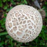 白色蘑菇顶视图  免版税库存图片
