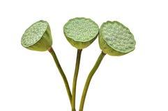 莲花的花苞 免版税库存照片