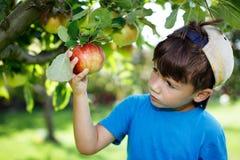 盖帽采摘苹果的小男孩 免版税库存照片