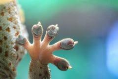 Рука гекконовых Стоковые Фотографии RF