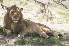 狮子在树荫下 库存图片