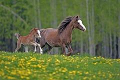 获得乐趣:威尔士小马母马和驹 免版税库存照片