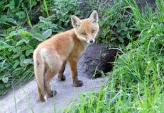 狐狸红色狐狸 免版税图库摄影