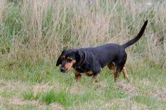 塞浦路斯的猎犬狗 免版税库存图片