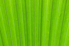 Текстура лист пальмы Стоковые Изображения RF