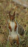 站立在草的红松鼠 免版税库存图片
