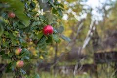 Κλάδος με τα μήλα στον κήπο φθινοπώρου Στοκ Φωτογραφίες