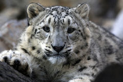 查找您的豹子 免版税库存照片