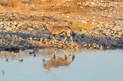 在日落的羚羊属 库存照片