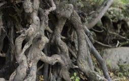Завязанные корни Стоковое фото RF