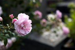 在坟墓的桃红色玫瑰 免版税库存照片
