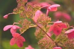 八仙花属 库存图片