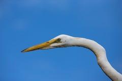 一只白色苍鹭的画象 免版税库存照片