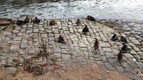 在莱茵河的银行的更加自由散漫的鸟 库存图片