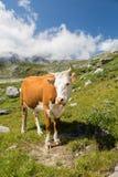 美丽的母牛 库存图片