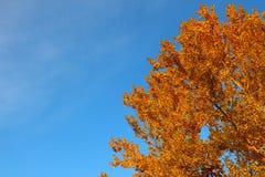 在金黄秋天叶子的亚斯本冠在蓝天背景  图库摄影
