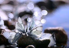 在岩石的美丽的蝴蝶在水附近,自然,春天 免版税库存照片