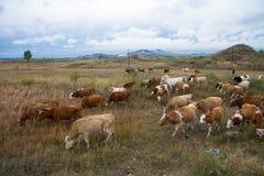 在大草原的牧群 免版税图库摄影
