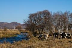 在河岸的牧群 免版税库存照片