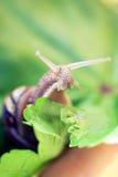 在叶子的好奇蜗牛 免版税库存图片