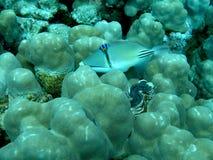 潜水埃及 免版税库存照片