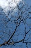 死的树在干净的蓝天下 免版税库存图片