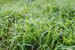 Длинная трава с серебряными капельками росы Стоковое Фото
