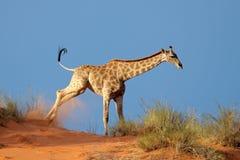 在沙丘的长颈鹿 免版税图库摄影