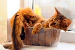 在箱子的逗人喜爱的猫 免版税库存图片