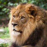 成人非洲狮子纵向赞比亚 免版税库存图片