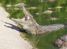 与一张开放嘴的大美洲鳄 免版税库存照片