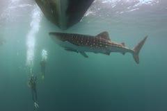 水下的鲸鲨接近轻潜水员在一条小船下在深蓝色海 库存照片