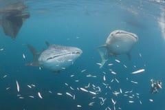 水下的鲸鲨接近轻潜水员在一条小船下在深蓝色海 免版税库存图片