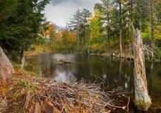 秋天池塘的海狸小屋 免版税库存图片