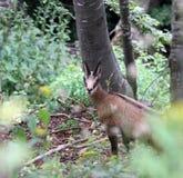 可怕的年轻山羚羊在森林里 免版税图库摄影