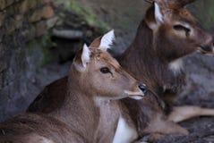 鹿纵向 库存照片