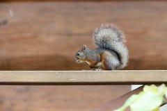 在木大阳台的扶手栏杆的日本灰鼠 库存照片
