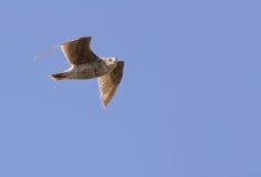 在飞行中鹰 免版税图库摄影