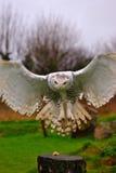 猫头鹰布拉格多雪的动物园 免版税图库摄影